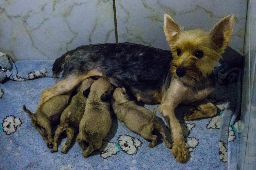 Cadela resgatada adotou filhotes que foram rejeitados pela mãe/ foto: Gabriel Higute