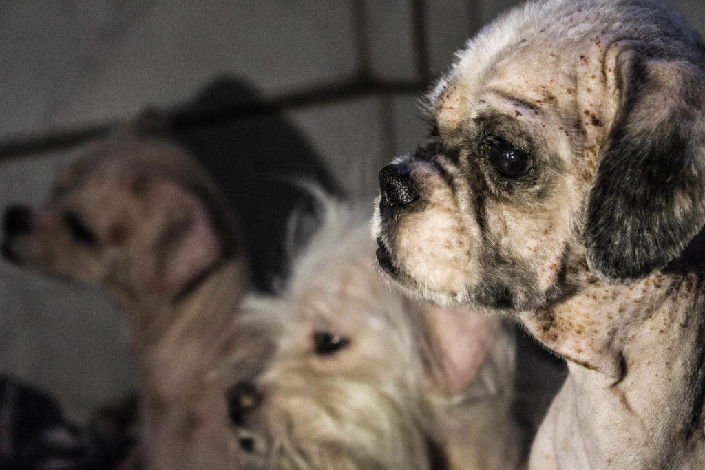 Cães resgatados do canil clandestino/foto: Gabriel Higute