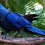 1 arara azul