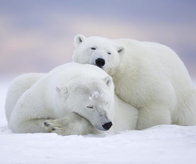 Mudanças climáticas podem levar ursos polares à extinção em 80 anos