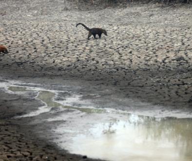 Fogo no Pantanal: falta de alimentos pode levar animais à extinção
