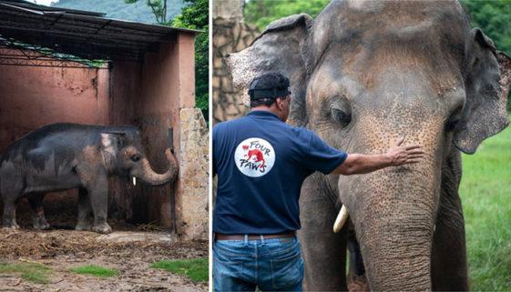 Elefante vítima de maus-tratos em zoológico vai para santuário