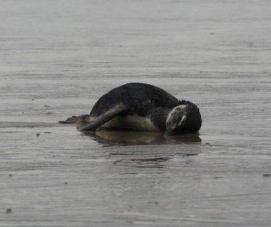 Pinguins achados mortos no Brasil ingeriram isopor e plásticos